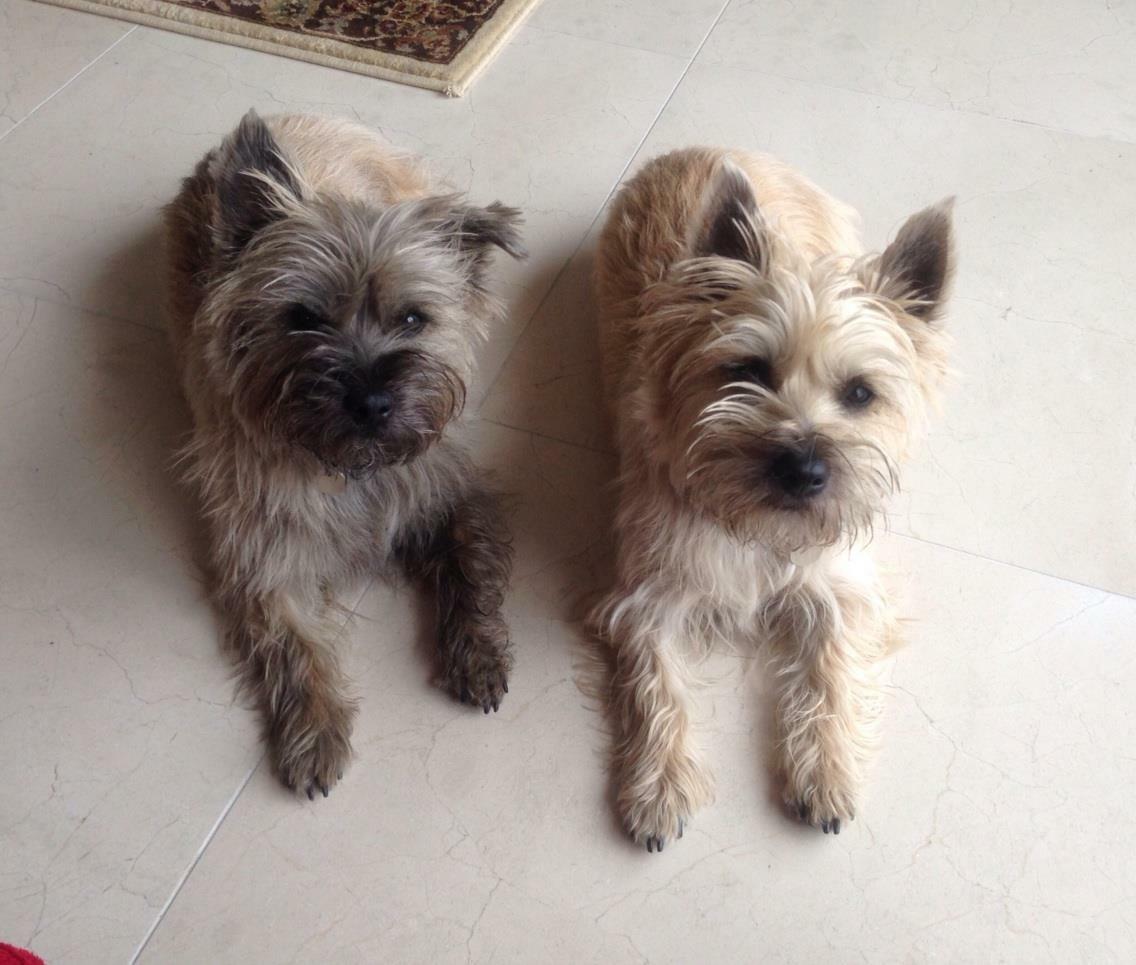 Most Inspiring Cairn Terrier Ball Adorable Dog - red-and-pepper-cute  HD_37682  .jpg?w\u003d908